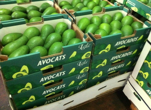 Planet Israel - Fresh Fruits | Fresh Citrus | Fresh Vegetables | Concentrated Pure Fruit Juice - Fresh Avocado / Avocados from Israel