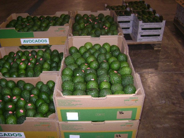 Planet Israel - Fresh Fruits   Fresh Citrus   Fresh Vegetables   Concentrated Pure Fruit Juice - Fresh Avocado / Avocados from Israel